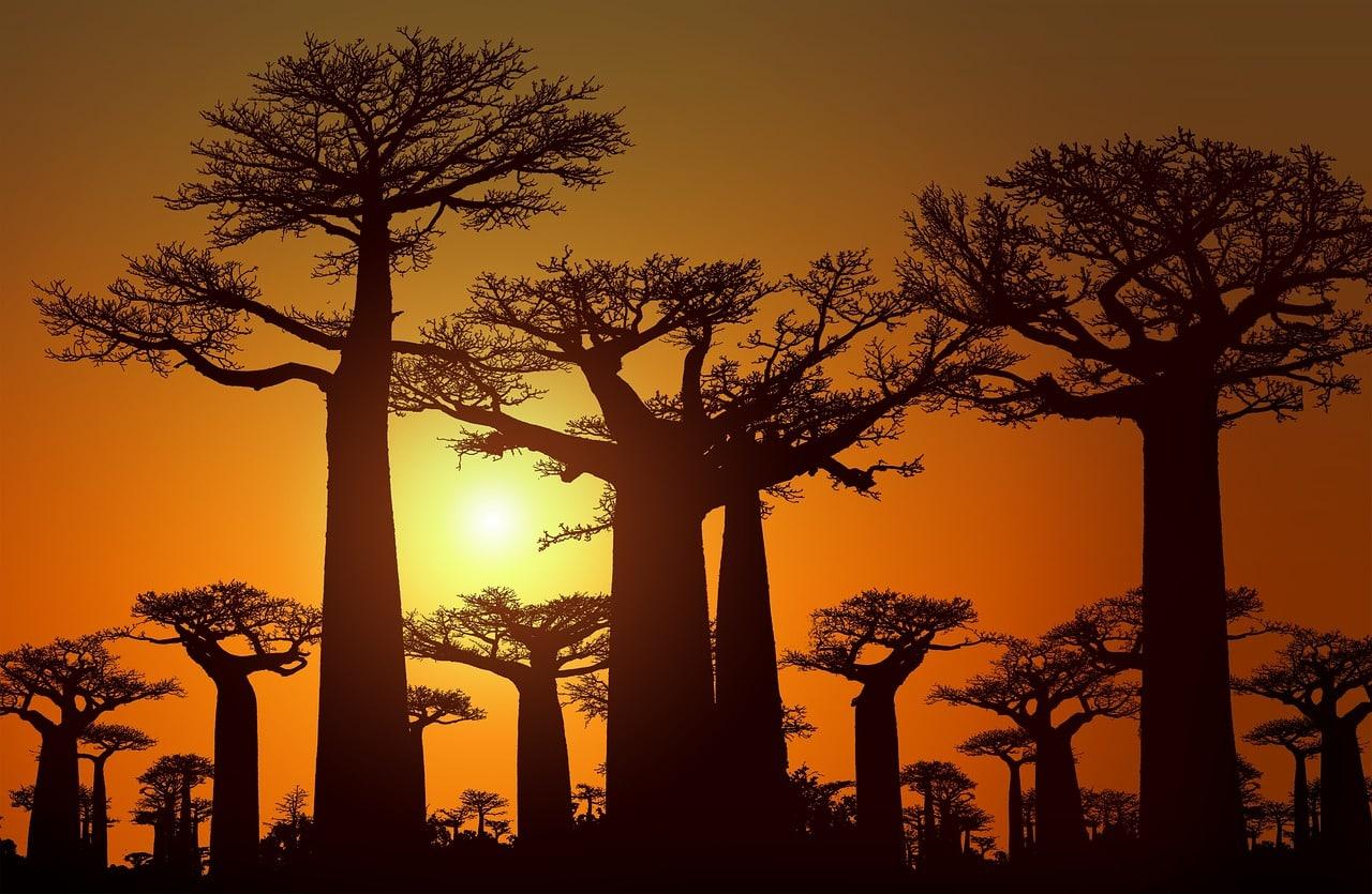Les vertus et utilisations de l'huile de baobab